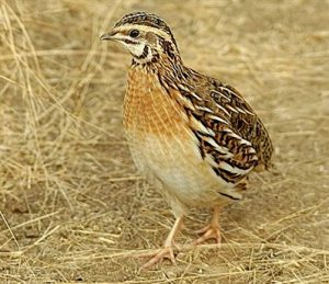 How to Start Quail Farming Business in Pakistan Guide in Urdu